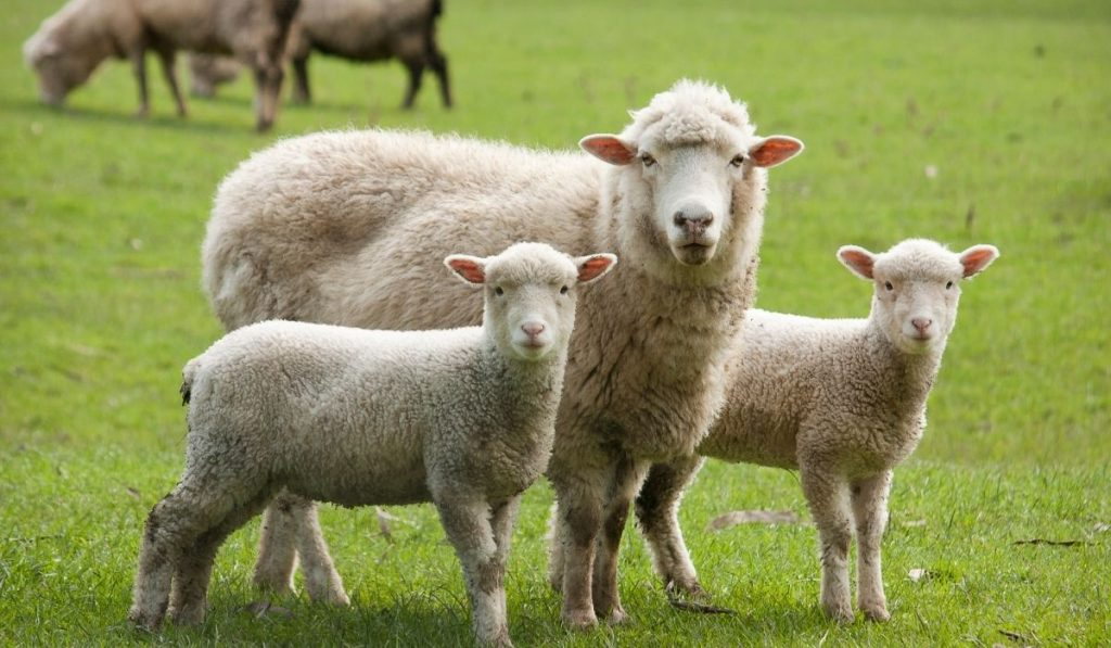 family of sheep in the field looking straight at the camera