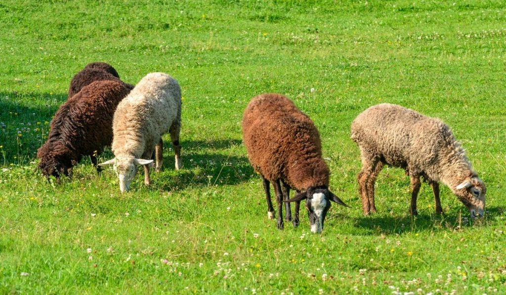 four sheep in different colors