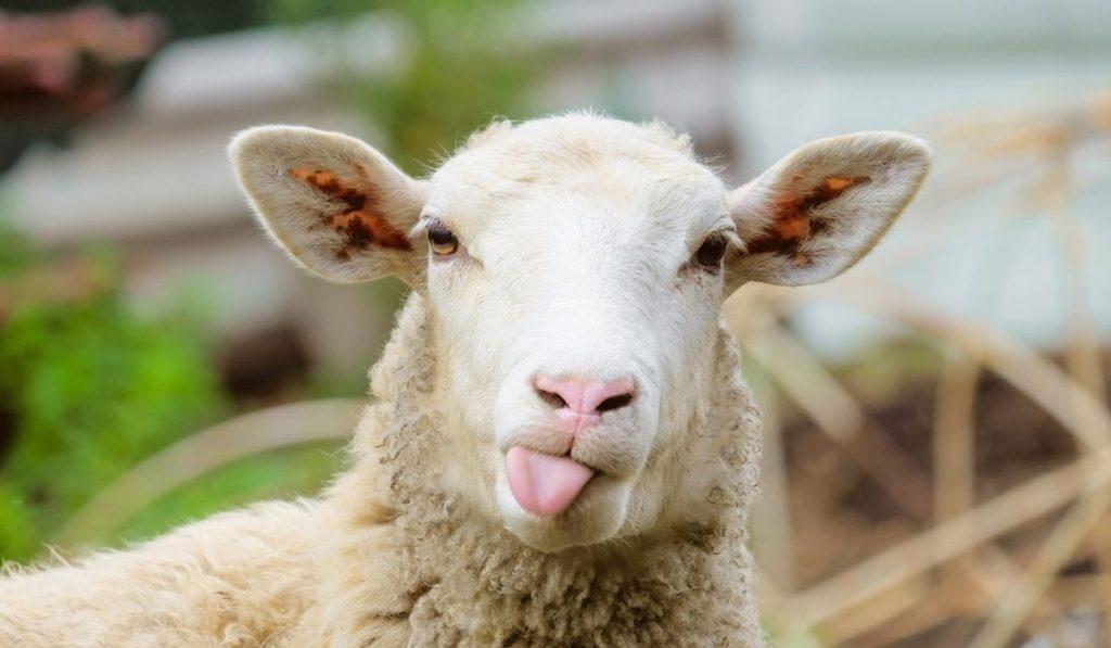 funny sheep, showing tongue
