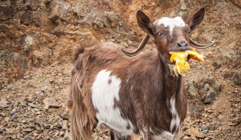 Can Goats Eat Oranges?