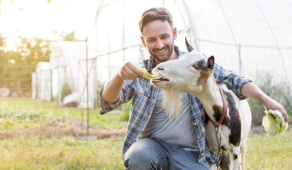 owner feeding cabbage to goat at the farm