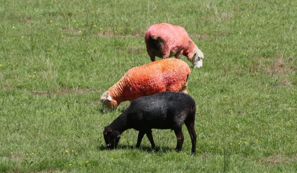 red and black sheeps eating grass