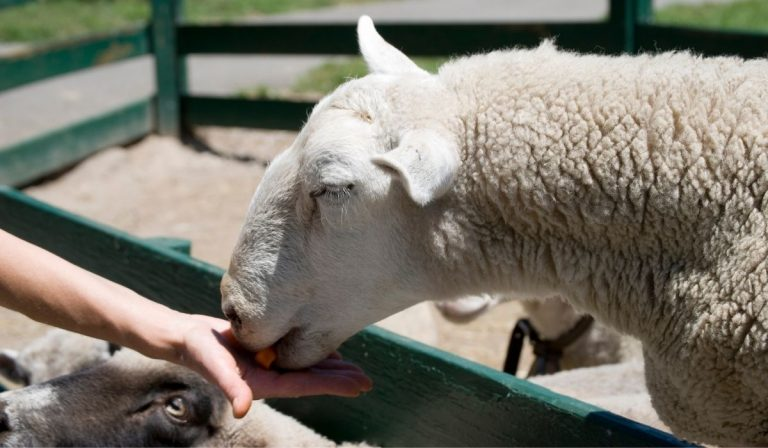 What Vegetables Can Sheep Eat?