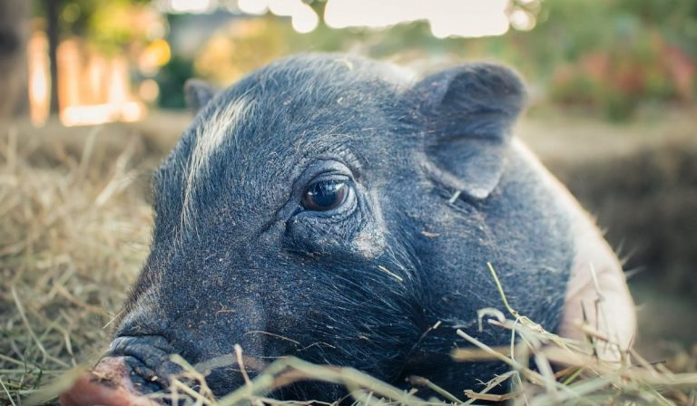 Why Pigs Shiver?