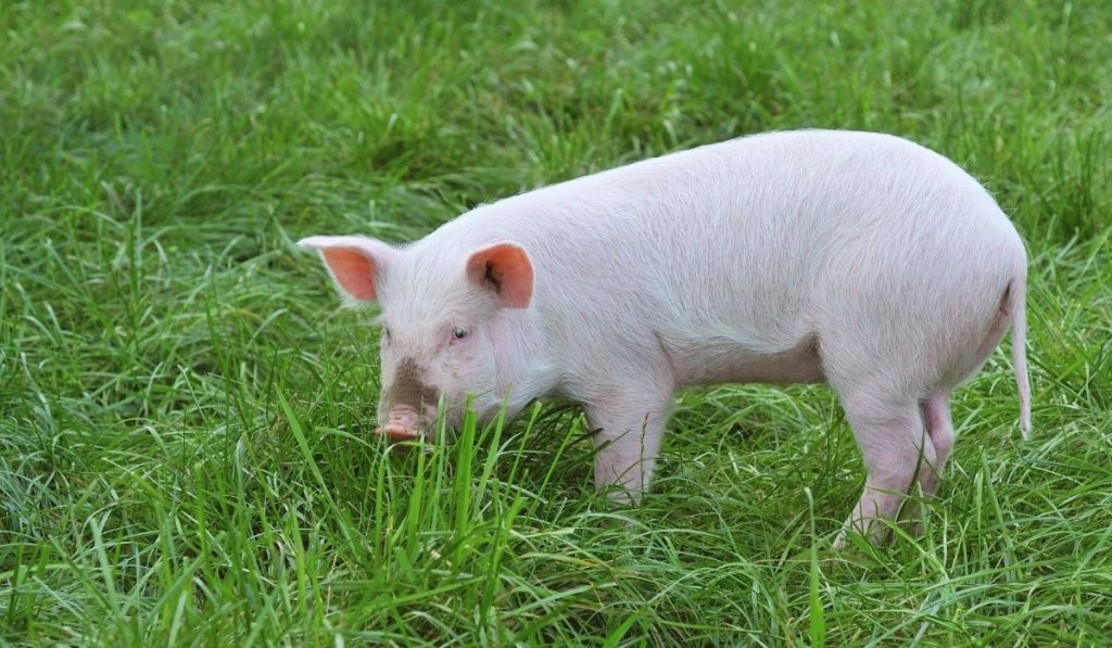 small-pig-on-a-green-grass
