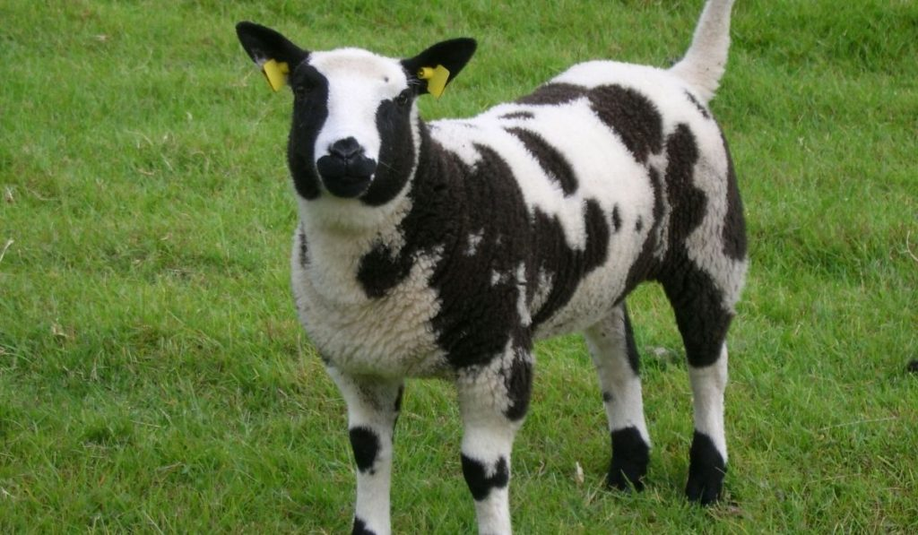 young sheep with black & white spots