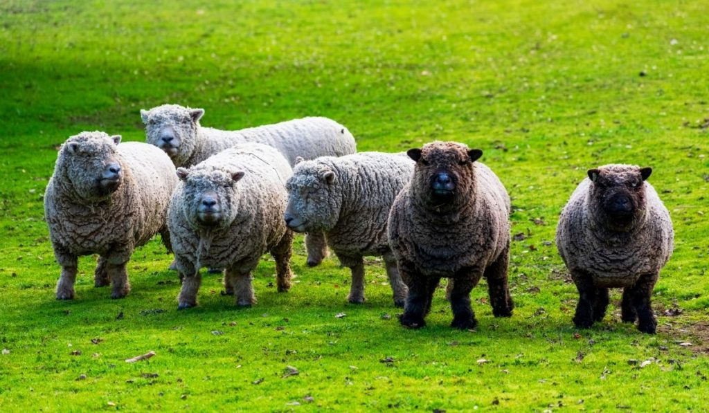 Babydoll Southdown Sheep on green grass meadow