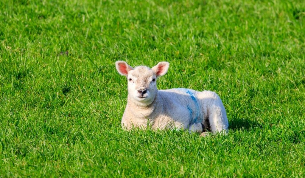 Cheviot-Sheep-lying-on-the-grass