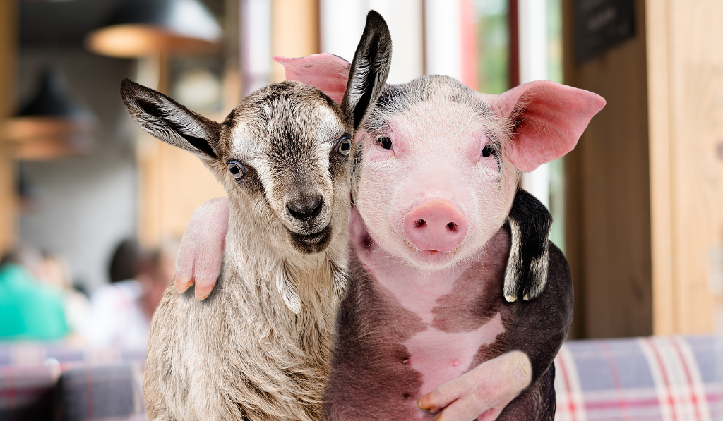 Goat and Pig hugging