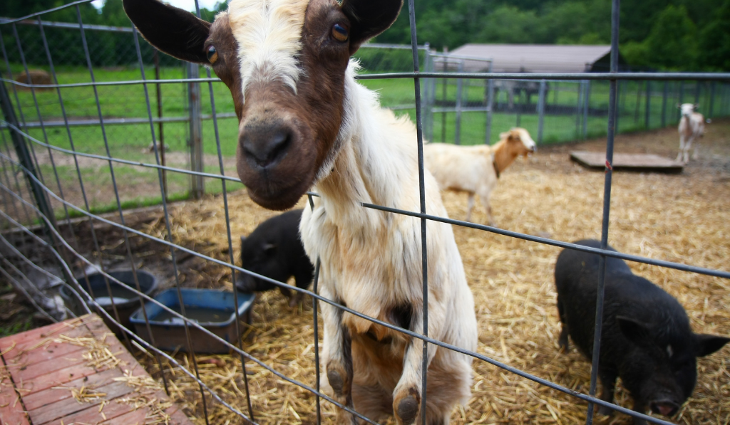 The kid puts its head outside while a goat and a pig in the background