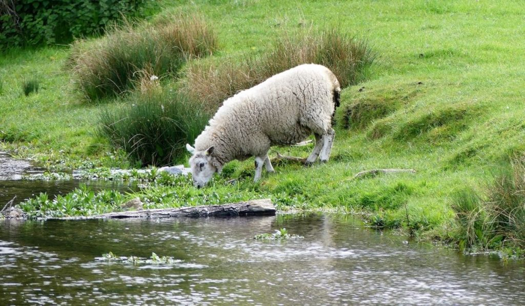 Sheep Drinking in River