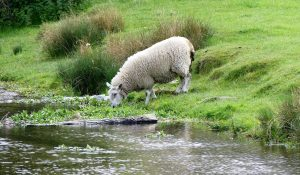 Sheep-Drinking-in-River