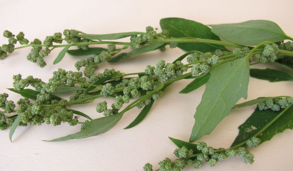 White Goosefoot with seeds