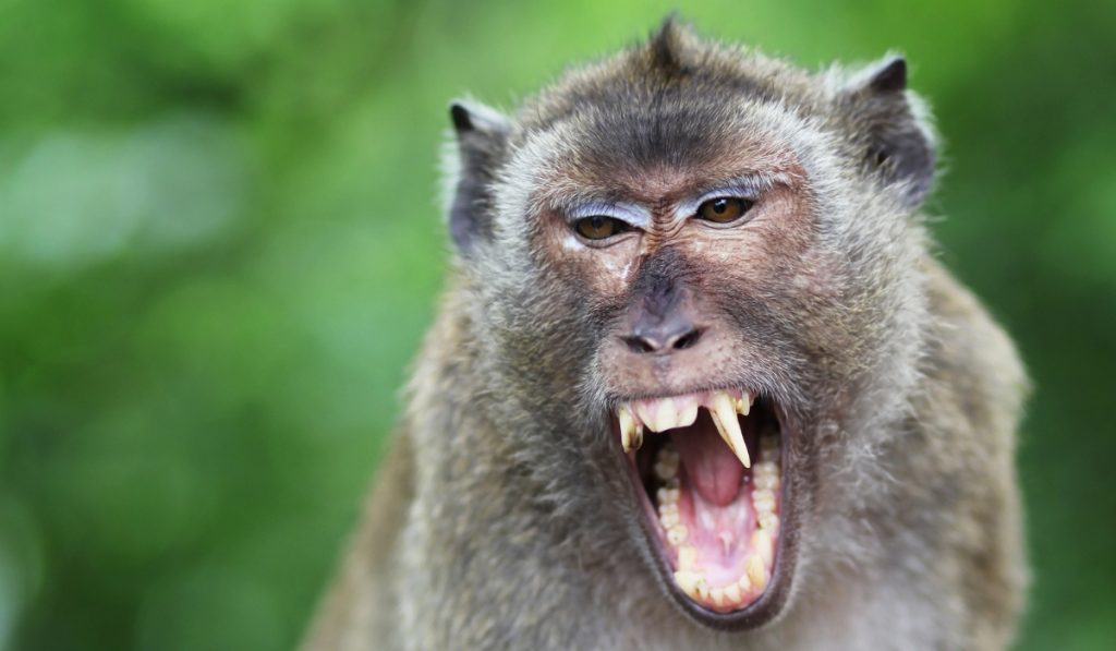 aggressive monkey showing his fangs