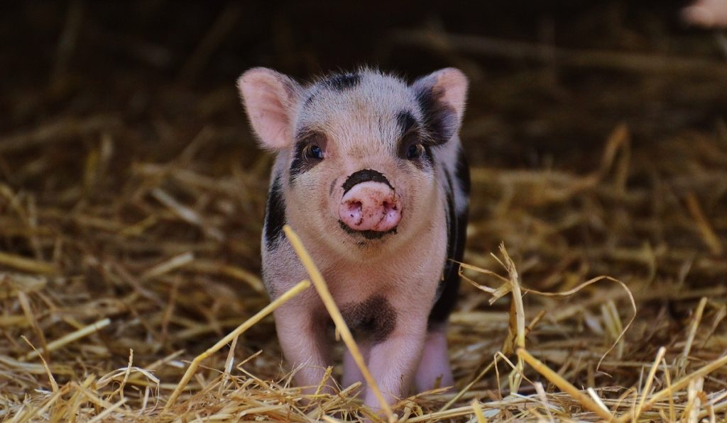 baby pig on the hay
