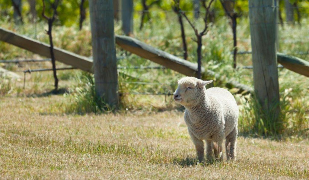 babydoll-sheep-on-the-vineyard