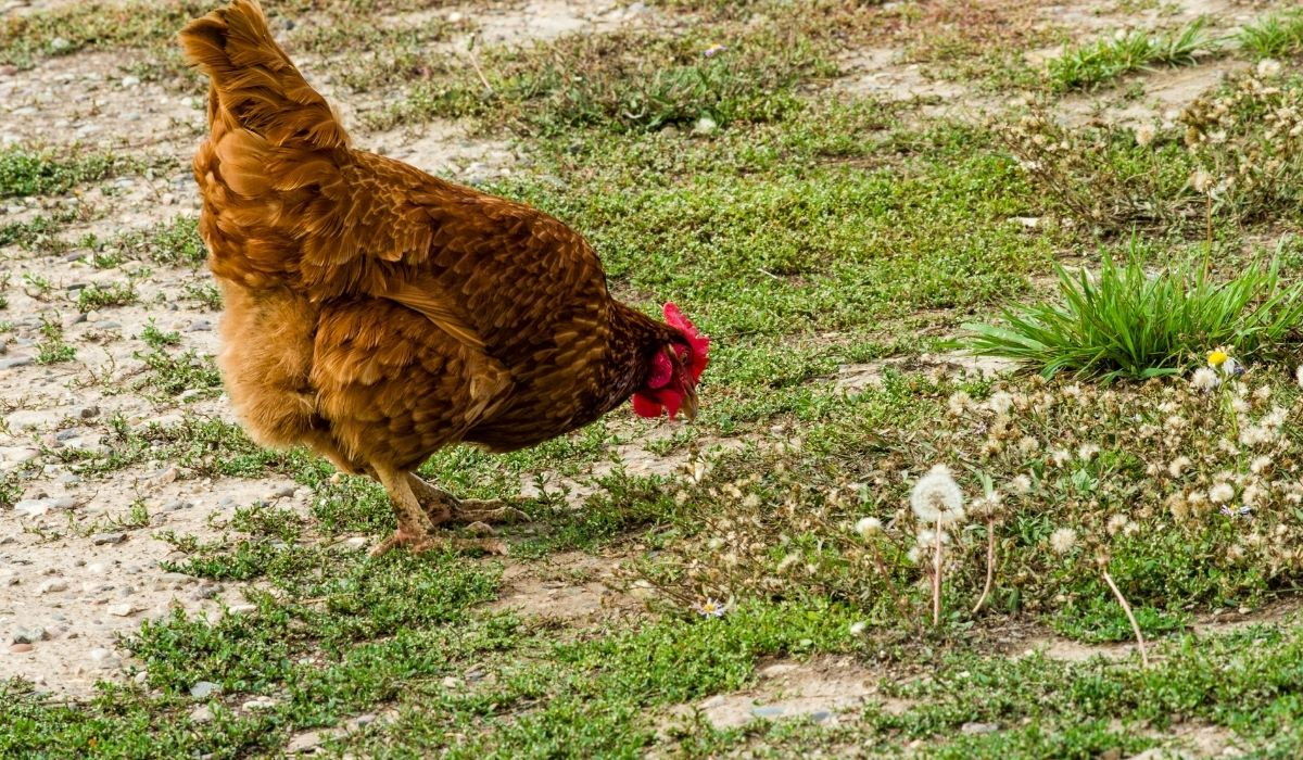 chickens eating grass