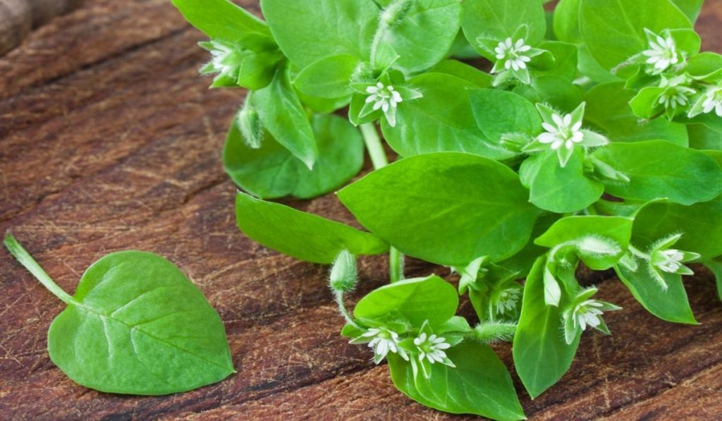 chickweed on the table