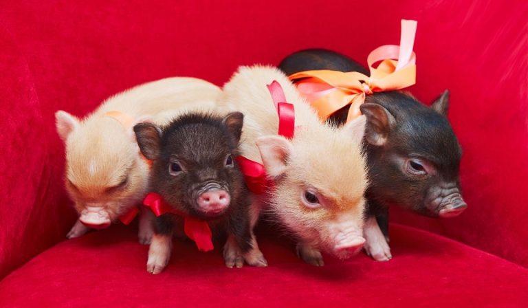 9 Smallest Pig Breeds