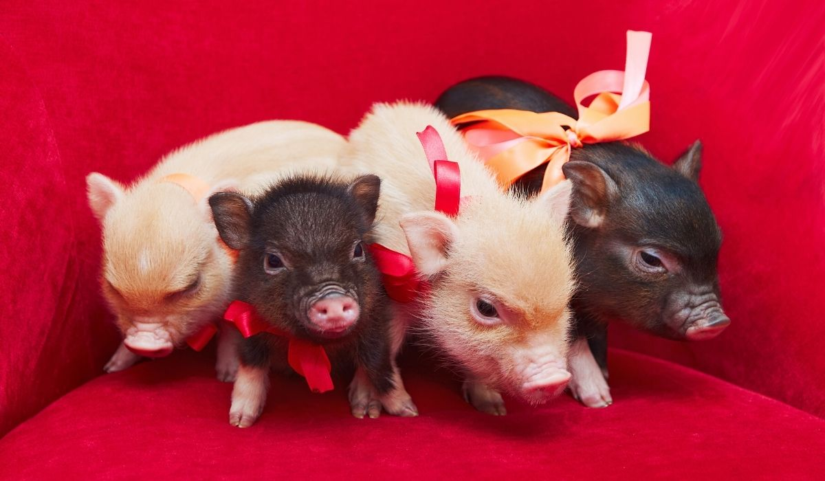 cute mini pigs with ribbon in red background