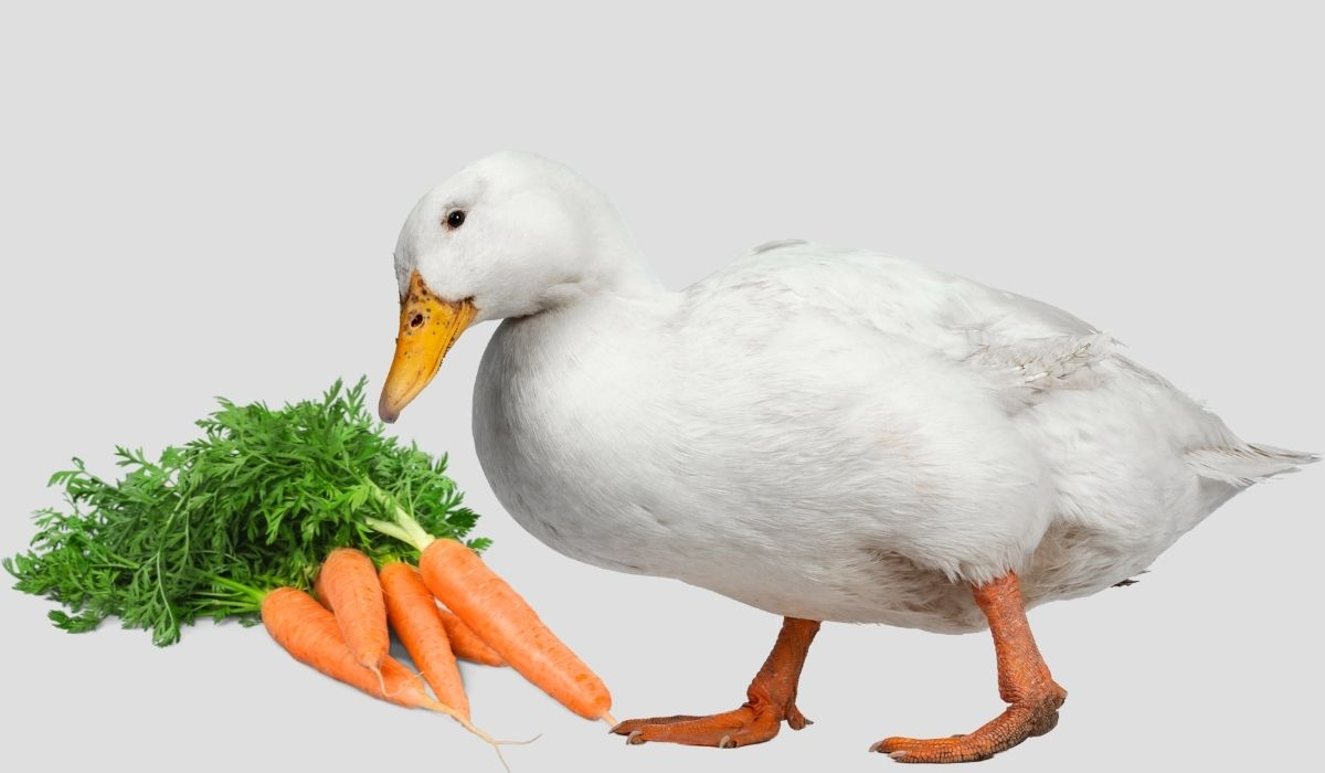 duck-looking-at-the-carrots
