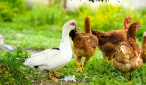 ducks and chickens living together