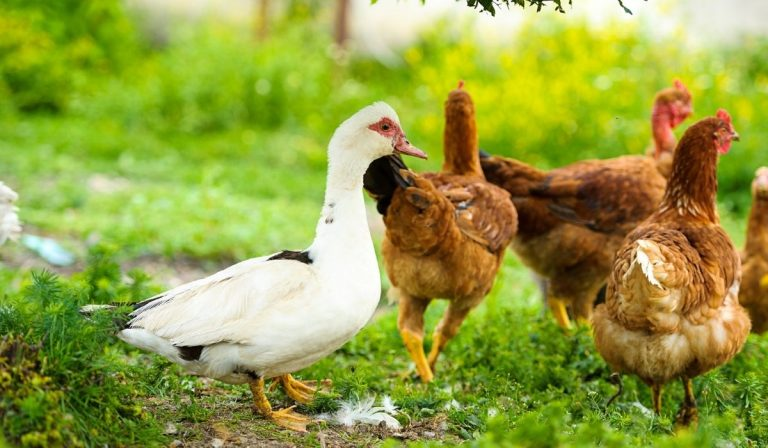 Can a Duck Live With Chickens?