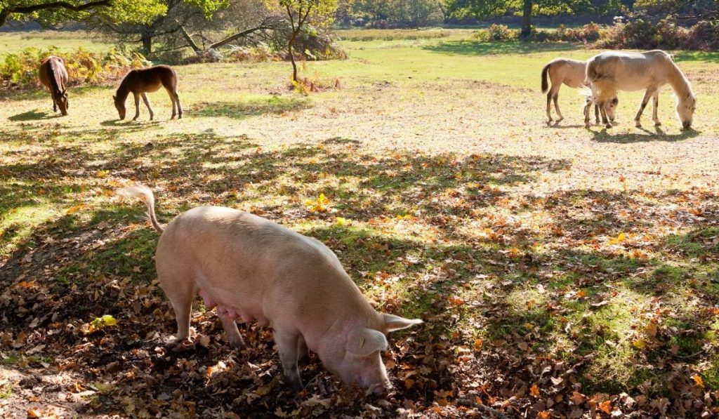 horses-and-a-pig-feeding-on-the-grass