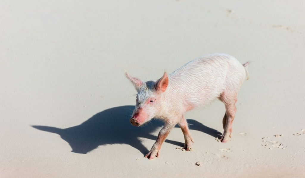 piglet walking on the sand