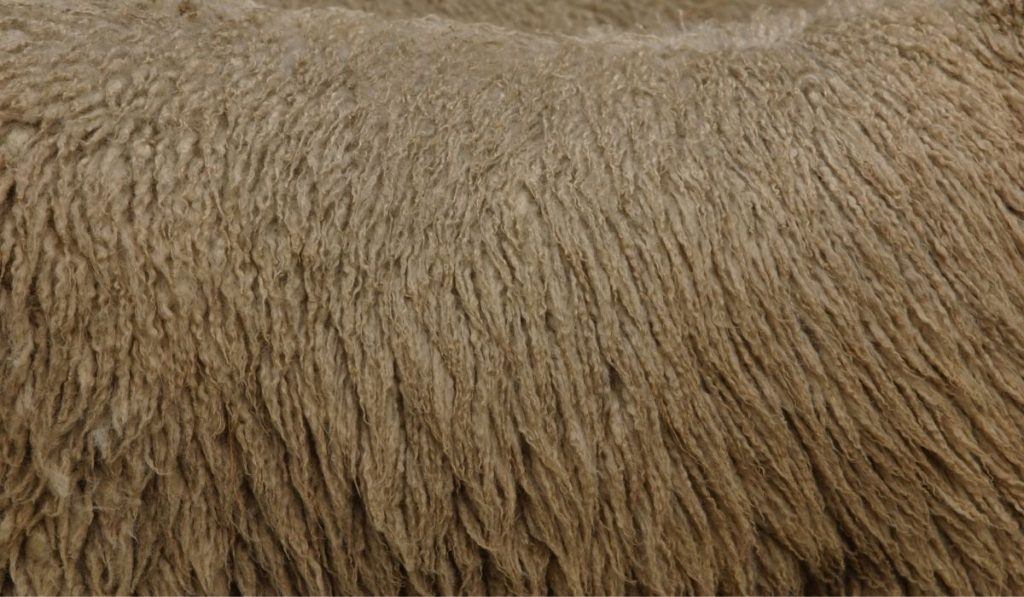 sheep wool and texture
