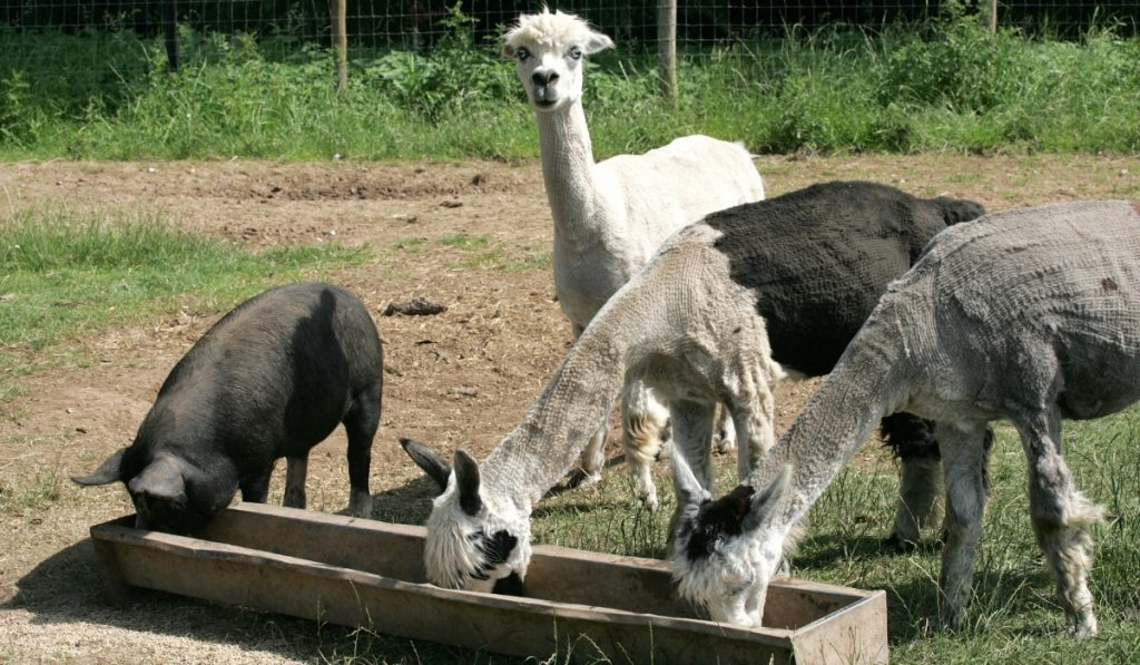 three-alpacas-and-a-pig-eating-together