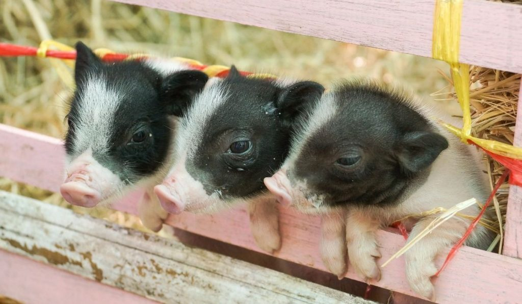 three juliana piglets in their cage
