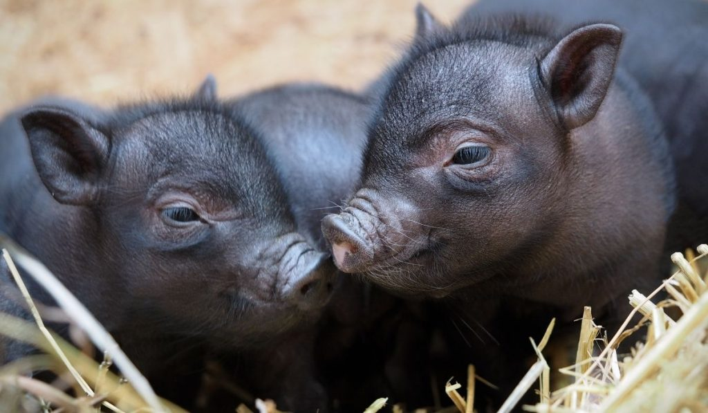 two black Ba Xuyen piglets