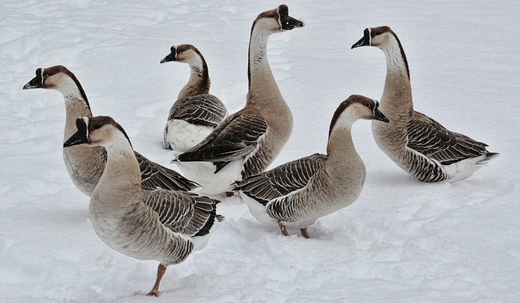 African Geese resting on the snow.