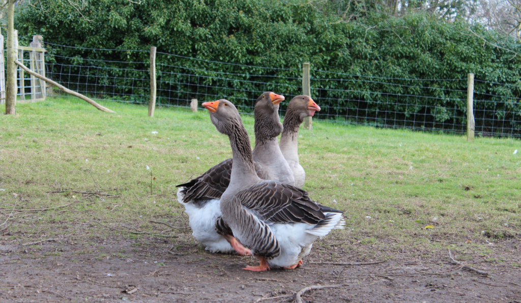 Toulouse geese standing inside their cage.