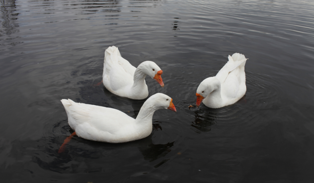 Embden geese swimming on the lake.