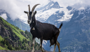An Alpine Goat standing on the rock with snowy mountain on the background.
