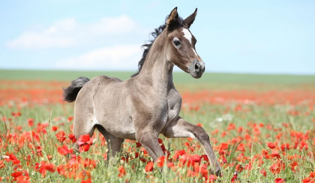 Arabian Horse running on a field with red flowers