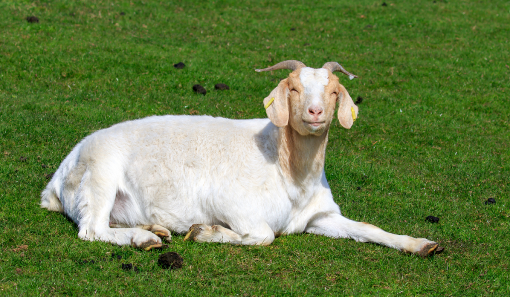 A Boer goat smiling and sitting on the ground.