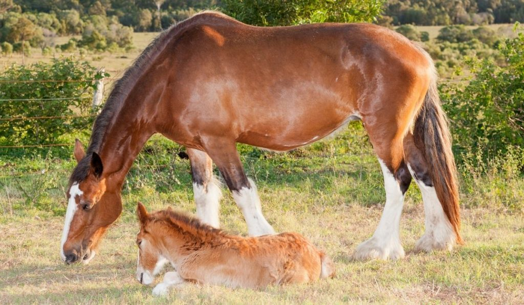 Clydesdale horse and its colt in pasture
