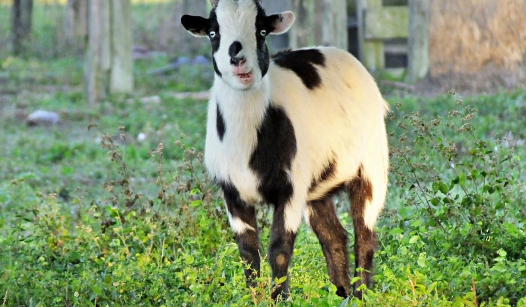 A Fainting Goat standing on the field.