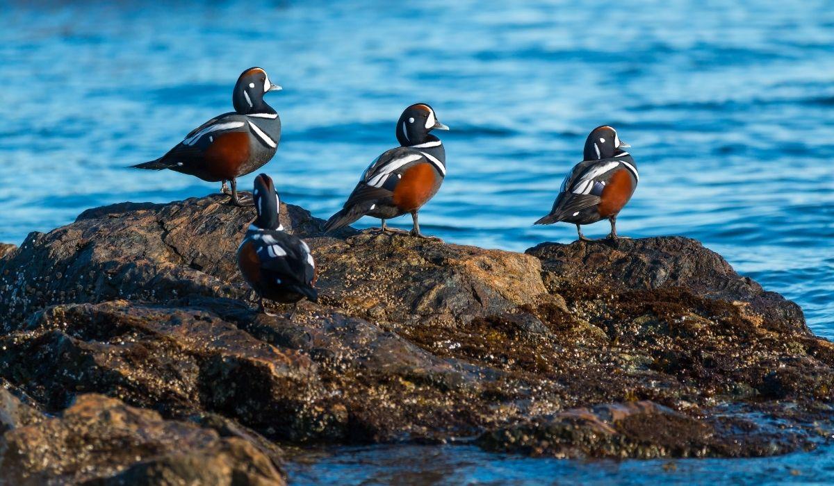 Harlequin-ducks-on-the-shore-rocks