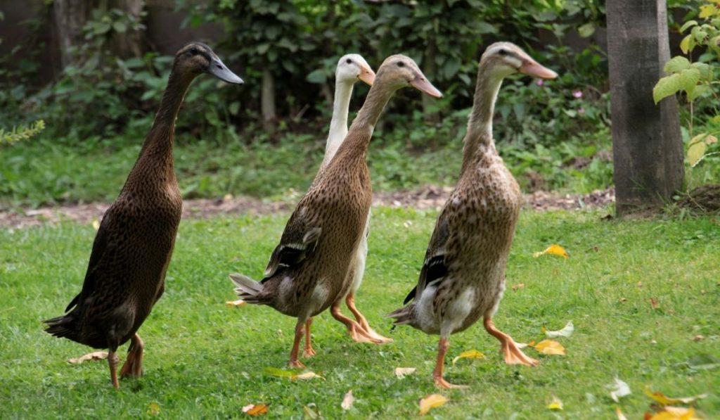 Indian-Runner-Ducks-in-the-wild