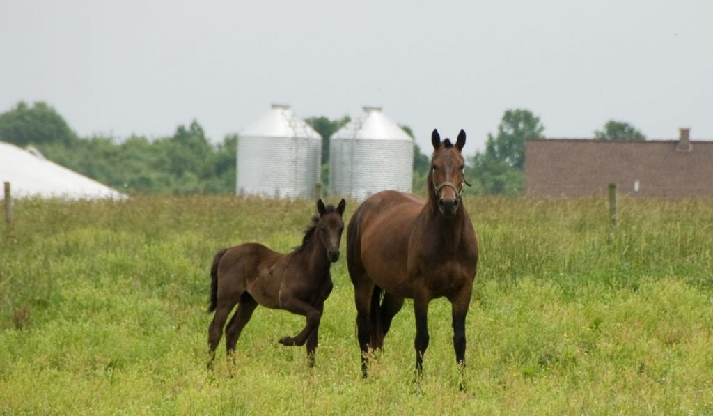 Morgan Horse and colt standing on the field