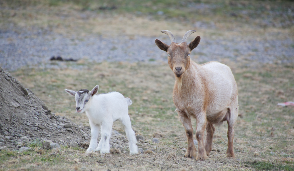 Nigerian Goat and its kid on the field.
