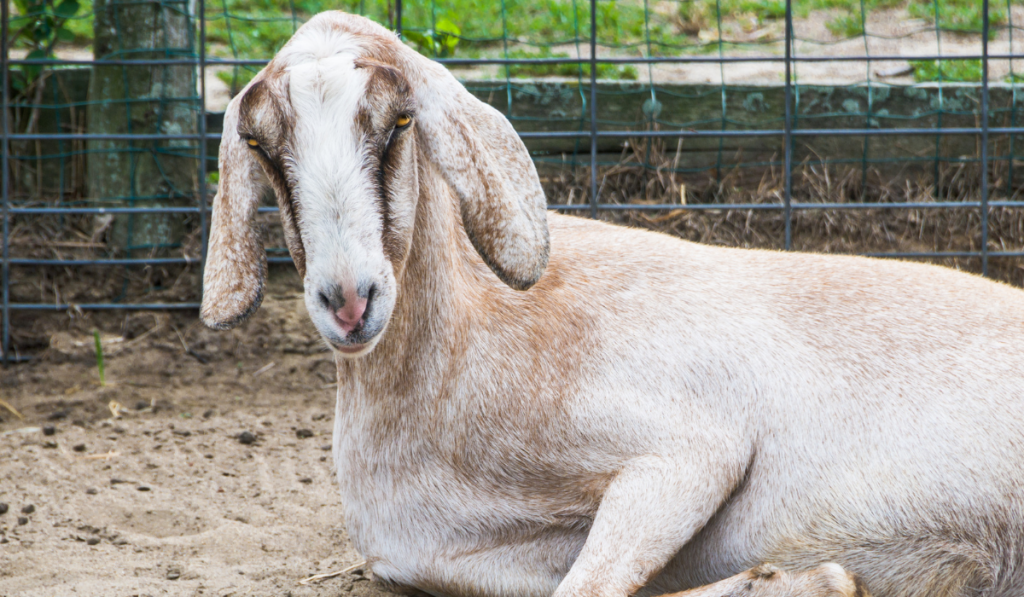 A Nubian goat resting on the ground.
