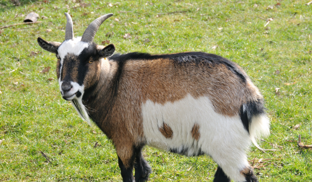 A Pygmy goat standing on the green grass field.