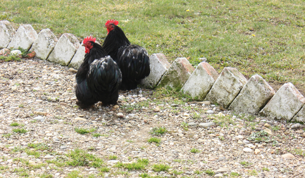 Australorp Chickens resting on the grounds.