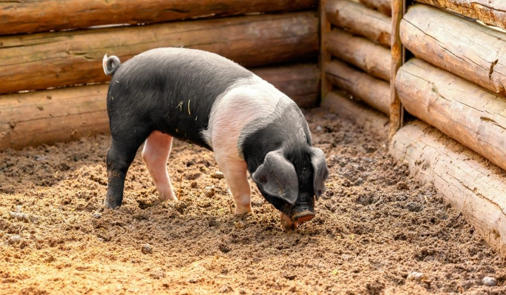 black and white pig in wooden enclosure