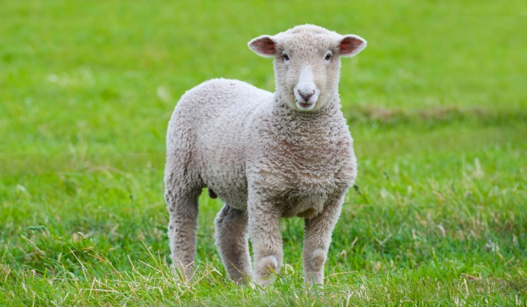 cute brown lamb standing on the grass